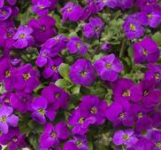 "Aubretia ""Audrey Purple Shades"" 15 frön"