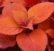 "Palettblad stickling ""Keystone Copper""  toppad och rotad 5-10 cm"