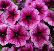 "Petunia ""Mambo Orchid Veined"" 12 frön"