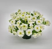 "Petunia ""Success Yellow Chiffon"" 5  frön"