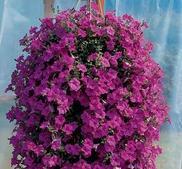 Petunia Wave Lavender 7 frö