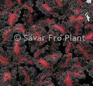 Palettblad black dragon 15 frön