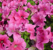 "Petunia ""Limbo Rose Veined""15 frö (buskig)"