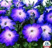 """Petunia """"Merlin Blue Morning""""  12 frö"""