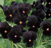 Viola Sorbet Black delight  9 frön