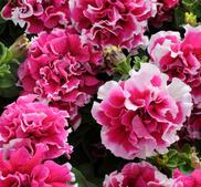 Petunia dubbel Pirouette Rose  10 frö