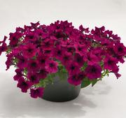 Petunia Success burgundy 5 frö