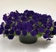 Petunia Success blue 5 frö