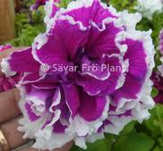 Buskpetunia dubbel  Purple Pirouette  F1 10 frö