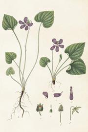 Vintage Juliste violetti kukka