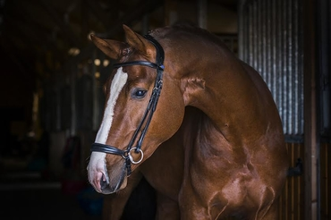 Bridle Youngster Revolution