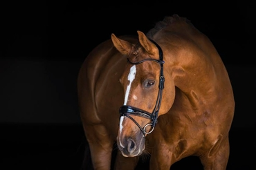 Bridle All In Revolution