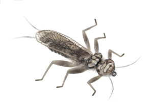 Stonefly Adult 1
