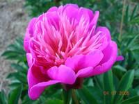 Lilac Times
