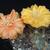 Acanthocalycium thionanthum v. minutum DH 10
