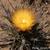Leuchtenbergia principis