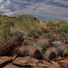 Austrocactus subandinus JN 1413 (Los Molles, Mendoza, Arg)