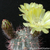 Acanthocalycium thionanthum v. glaucum FK 620 (Catamarca, South of Hualfin, 1829m, Arg)