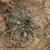 Acanthocalycium thionanthum v. variiflorum TB 427.2 (Amaicha del Valle, 2864m, Tucuman, Argentina)