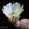 Echinocereus pectinatus fma albiflora (Detras, Mex)