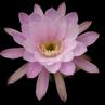 Echinopsis obrepanda MN 331 (Trigohuiaco, 3175m, Salta, Arg)