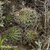 Lobivia maximiliana v. intermedia TB 929.1 (Mollebamba, 4003m, Apurimac, Peru)