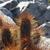 Lobivia maximiliana v. caespitosa MN 602 (SE Sayari, 3996m, Bol)