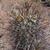 Sclerocactus parviflorus MN 550 (Park Creed Rd, La Sal, Utah)