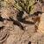 Pterocactus tuberosus JN 1416 (Salinas Las Diamante, 1372m, Mendoza, Arg)