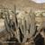 Weberbauerocereus weberbaueri TB 973.2 (Quicacha, Arequipa, Peru)