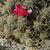 Lobivia rauschii TB 153.1 (Mischka Pampa, Chuquisaca, 3289m, Bol)