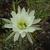 Echinopsis ancistrophora fma TB 668.1 (Alto de Medina, North of Villa Padre Monti, Tucuman, Arg)