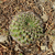Lobivia cinnabarina v. grandiflora TB 125.1 (Kochi, East of Presto, Chuquisaca, Bolivia)