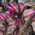 Cleistocactus candelilla MN 445 (E Saipina, Bol)