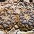 Ariocarpus fissuratus AL 756 (Sierra San Vicente, TX)