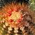 Melocactus perezassoi (Cuba)
