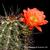 Echinocereus coccineus ssp. transpecosensis (Hudspeth Co, TX, USA)