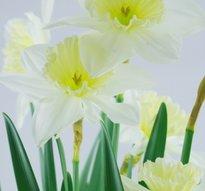 Vårliljor