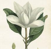 Juliste Magnolia 50 * 70 cm