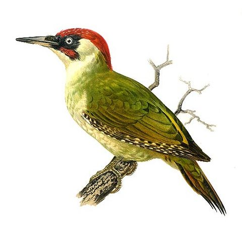 green woodpecker wildlife garden
