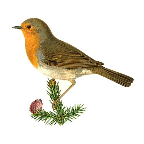robin  wildlife garden